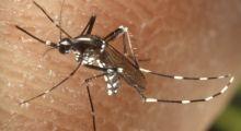 Reconnaître le moustique tigre